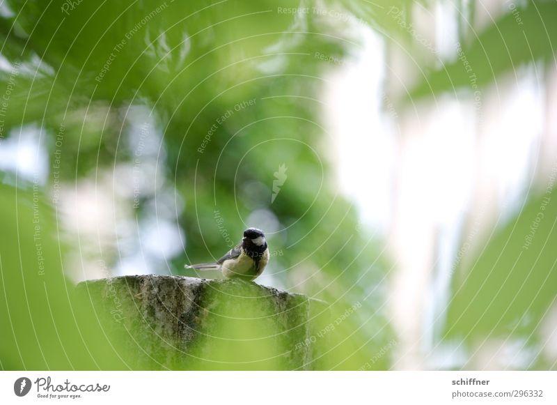 Durchblick Tier Vogel 1 sitzen grün Meisen Kohlmeise verstecken entdecken Blick Wildtier Blatt Laubbaum Baum Natur Einsamkeit warten beobachten klein
