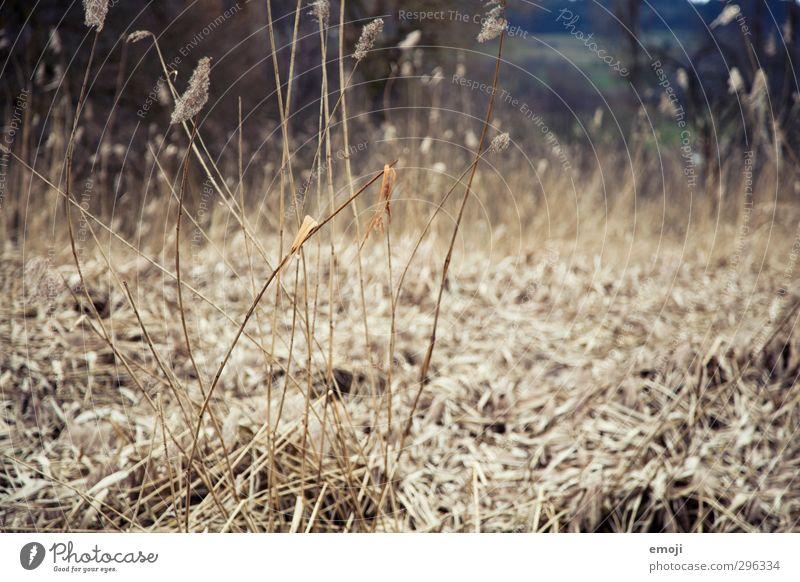 Gräser Natur Pflanze Landschaft Umwelt Gras grau natürlich braun trocken Schilfrohr