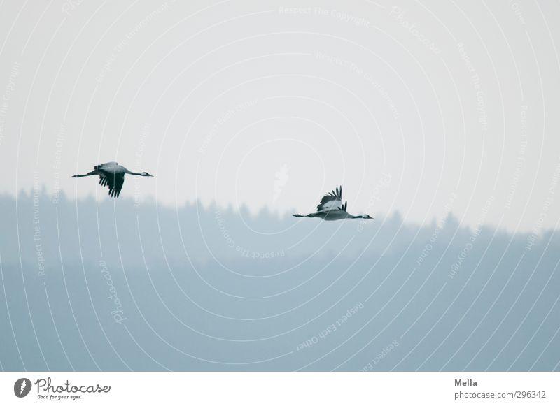 Ziehen Umwelt Natur Landschaft Tier Luft Himmel Wald Wildtier Vogel Kranich 2 Tierpaar fliegen frei natürlich wild Freiheit ruhig Vogelschwarm Farbfoto