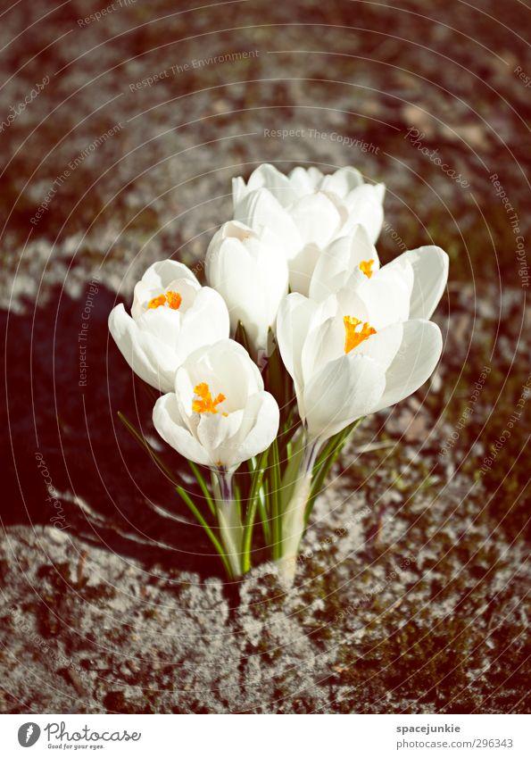 Krokus Umwelt Natur Pflanze Erde Blume Blüte Garten Park natürlich gelb schwarz weiß Frühlingsgefühle schön Schatten Schattenspiel Farbfoto Außenaufnahme