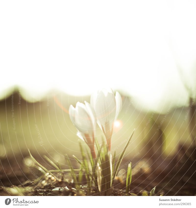 springeling Natur Pflanze Wiese verblüht Frühlingsgefühle Vorfreude Krokusse Blume Light leak Sonnenuntergang Frühlingsblume Außenaufnahme Nahaufnahme