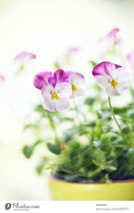 Frühling im Topf Natur Pflanze Blüte Topfpflanze Stiefmütterchen Frühlingsblume Frühlingsfarbe hell natürlich Frühlingsgefühle Farbfoto Menschenleer