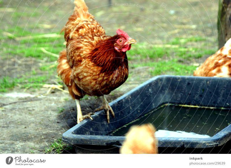 Huhn guckt doof Bauernhof Haushuhn Hahn Verkehr Wasserstelle