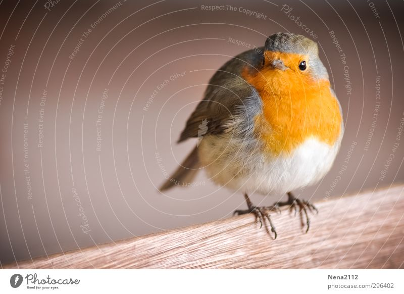 Hey gibt's Futter hier? Natur Tier Vogel Tiergesicht Flügel 1 stehen warten Coolness Glück lustig niedlich schön orange rot Rotkehlchen Farbfoto Außenaufnahme