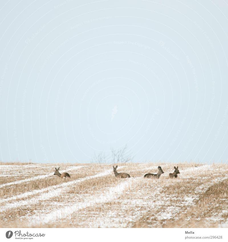 (K)Ein Bock Umwelt Natur Landschaft Tier Erde Himmel Feld Wildtier Reh 4 Tiergruppe Herde liegen natürlich ruhig Langeweile Gelassenheit Pause Erholung