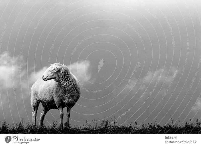 Allein? Schaf Wolken Sturm Rasen Einsamkeit Wind Regen
