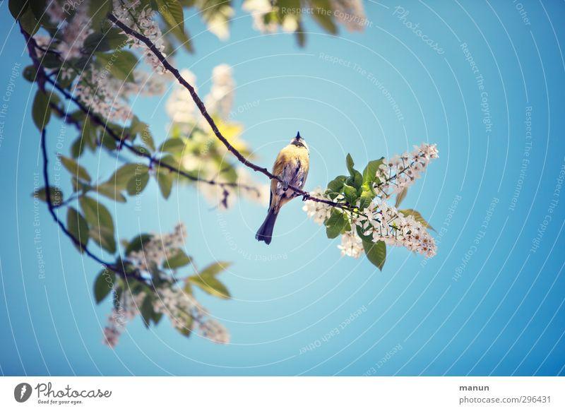 blau Meise Garten Natur Frühling Baum Zweige u. Äste Tier Wildtier Vogel Meisen Blaumeise 1 beobachten Erholung festhalten genießen sitzen warten frei klein