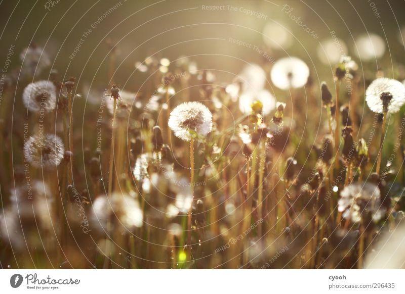 Licht. Natur Sommer Herbst Schönes Wetter Wärme Pflanze Gras Blüte Wiese Blühend fliegen genießen leuchten verblüht dehydrieren Wachstum dunkel hell kalt nah