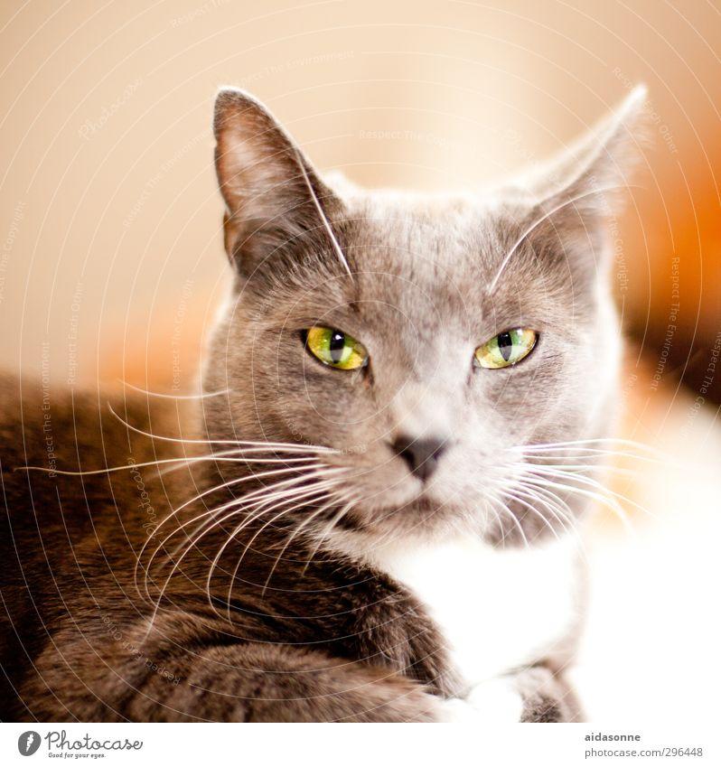 Biest Haustier Katze 1 Tier Zufriedenheit Wachsamkeit Gelassenheit ruhig Schüchternheit Farbfoto Innenaufnahme Menschenleer Hintergrund neutral