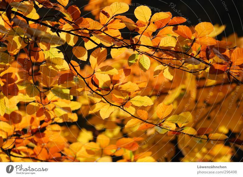 Gelb tut gut! Natur Pflanze Herbst Schönes Wetter Blatt Wald leuchten Fröhlichkeit hell Wärme gelb orange schwarz Stimmung Warmherzigkeit Leben unbeständig