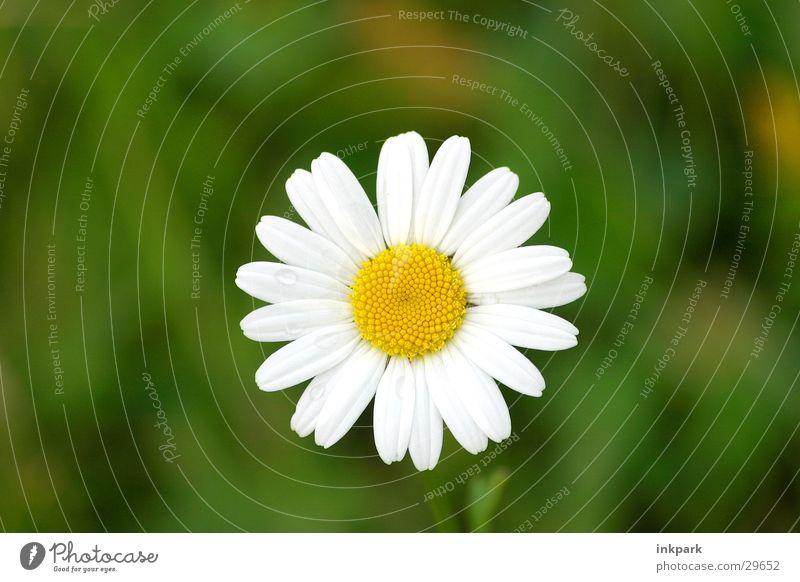Portrait einer Blume Gänseblümchen Blüte Blatt Sommer Wiese Makroaufnahme