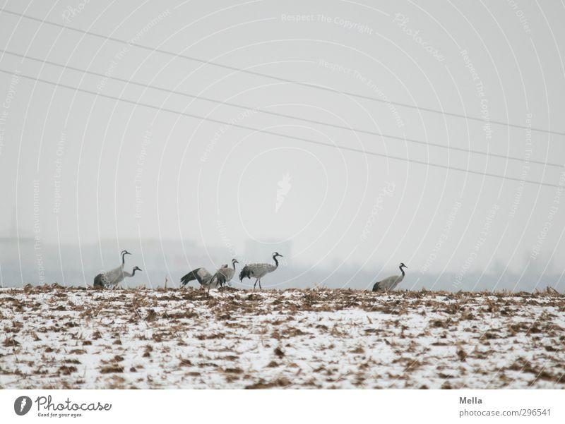 Zivilisation Umwelt Natur Landschaft Tier Erde Himmel Winter Nebel Schnee Feld Haus Hochhaus Wildtier Vogel Kranich Tiergruppe Schwarm gehen stehen frei kalt