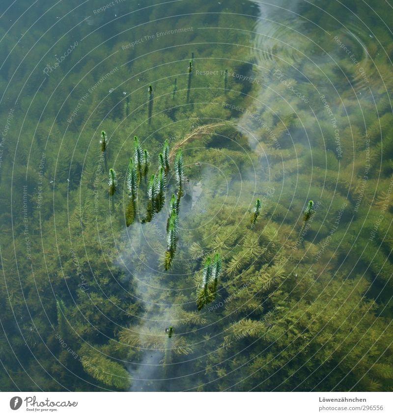 Zwergenbäume Natur Pflanze Wasser Sommer Grünpflanze Wasserpflanze See Wachstum grün Fortschritt Neugier Wasserpest lonesomeness Neuanfang aufstrebend