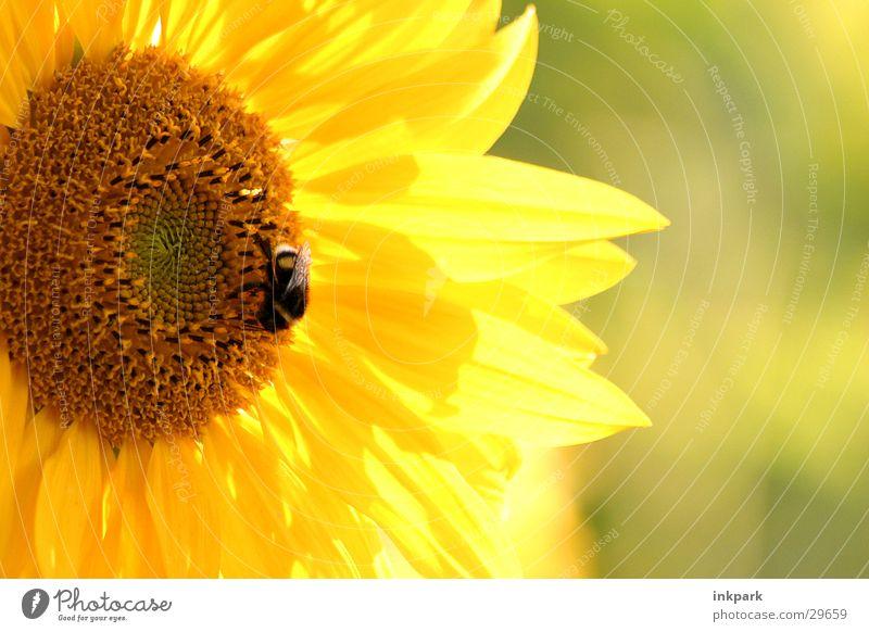 von Bienen und Blumen Sonnenblume Hummel Licht Blatt Makroaufnahme