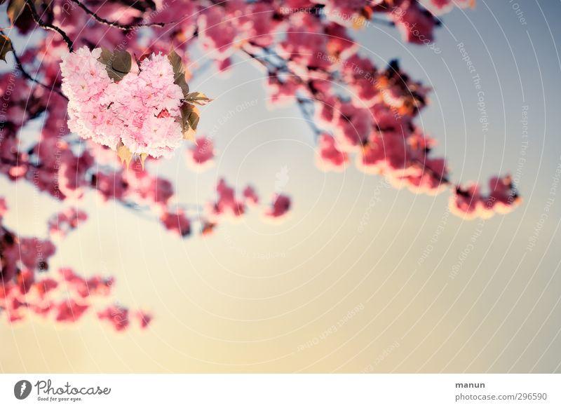 sie blühen wieder Natur Pflanze Wolkenloser Himmel Frühling Schönes Wetter Baum Blüte Kirschblüten Zierkirsche Frühlingsfarbe rosa Frühlingsgefühle Farbfoto