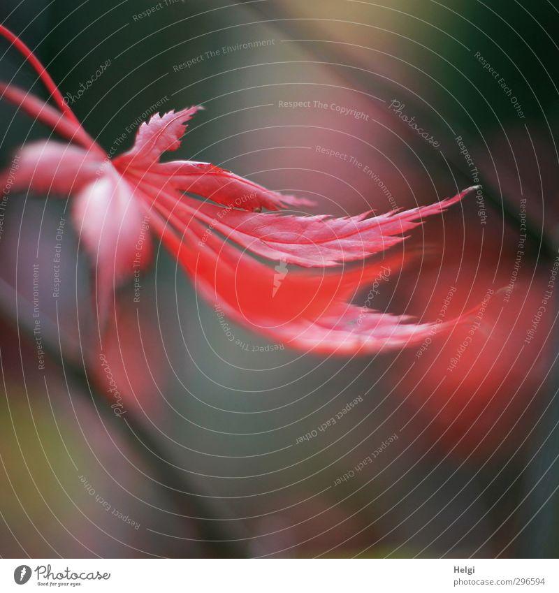 Herbst-Nachlese Umwelt Natur Pflanze Baum Blatt Ahorn Ahornblatt Park hängen Wachstum ästhetisch schön natürlich braun rot Stimmung bizarr einzigartig Leben