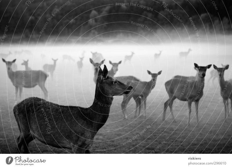 deer in the fog Umwelt Natur Tier Herbst Nebel Wiese Wald Nutztier Wildtier Reh Tiergruppe Herde beobachten warten Neugier Ehre Kraft achtsam Wachsamkeit