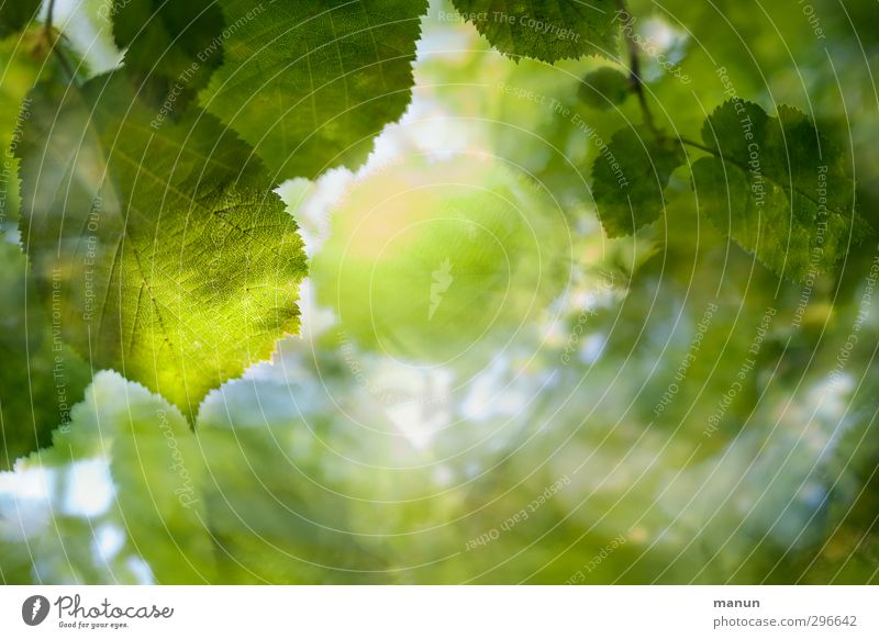 grün Natur Frühling Sommer Baum Blatt Zweige u. Äste Wald Laubbaum Laubwald natürlich Umweltschutz Farbfoto Detailaufnahme Menschenleer Textfreiraum rechts