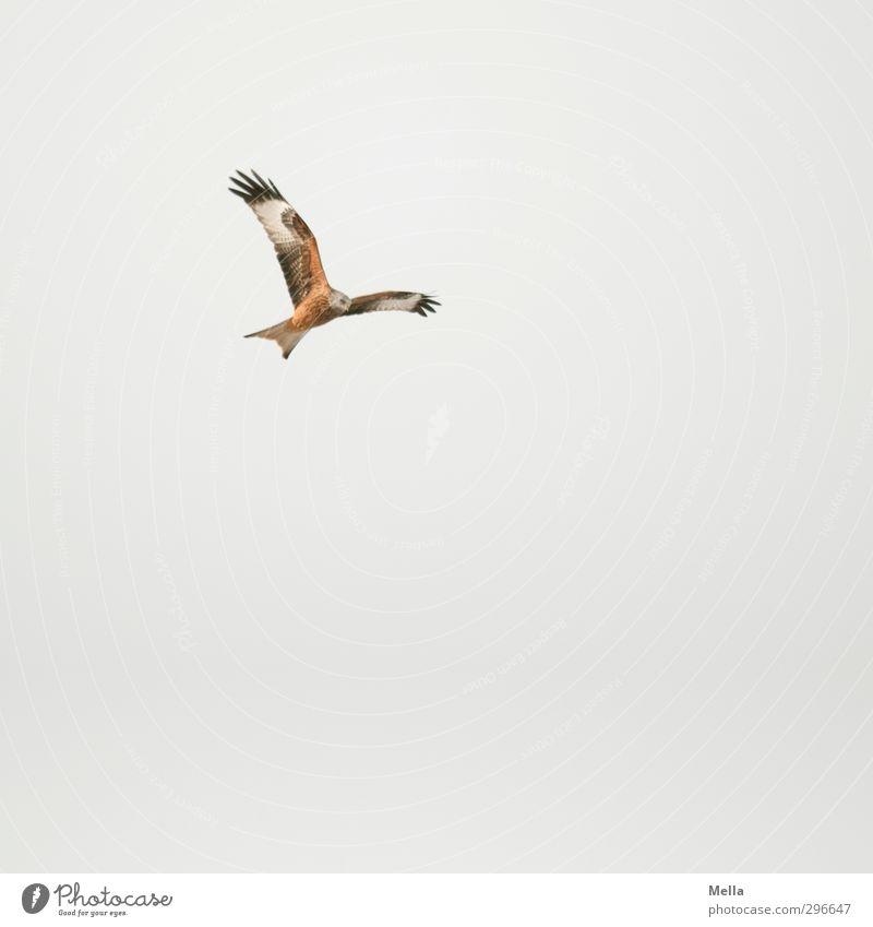 Oben Umwelt Natur Tier Luft nur Himmel Wildtier Vogel Milan Roter Milan 1 fliegen Jagd frei natürlich oben grau ästhetisch Bewegung Freiheit Suche hoch