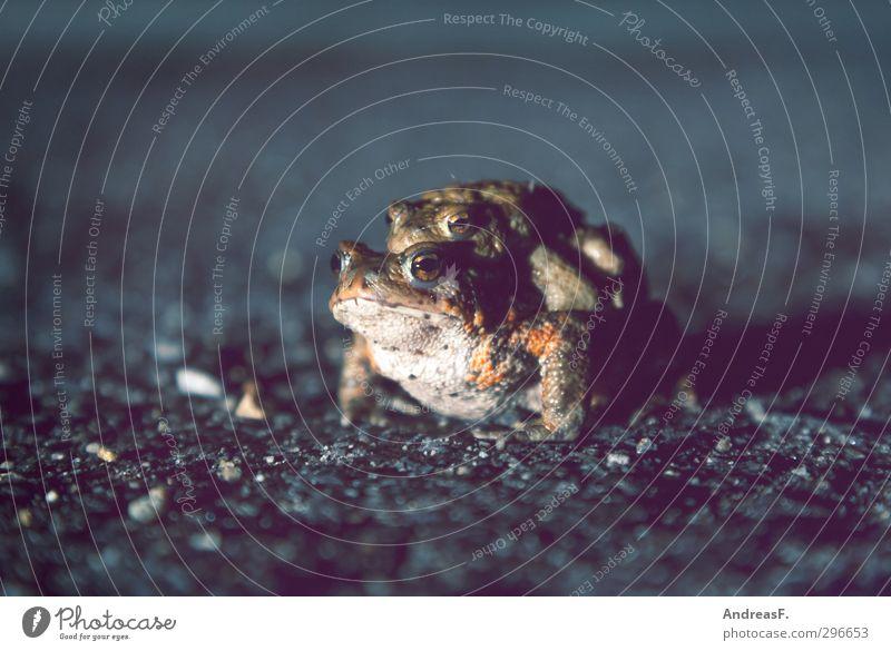 Tierliebe Umwelt Natur Kröte Erdkröte 2 Tierpaar krabbeln Liebe Sex Krötenwanderung Umarmen Liebespaar Straßenbelag Farbfoto Abend Dämmerung Nacht