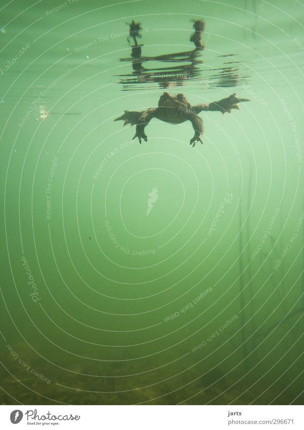 taucher Pflanze Tier Frühling Teich See Wildtier Frosch 1 Schwimmen & Baden tauchen Natur Unterwasseraufnahme Außenaufnahme Menschenleer Textfreiraum unten Tag