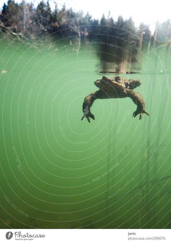 abgetaucht Pflanze Tier Wasser Frühling Wald Teich Wildtier Frosch 1 Schwimmen & Baden tauchen dick schleimig Natur Farbfoto Außenaufnahme Unterwasseraufnahme