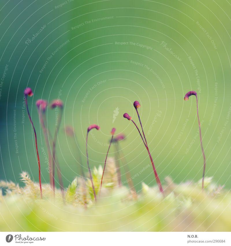 Kleine Laternen Umwelt Natur Frühling Pflanze Moos ästhetisch Freundlichkeit frisch grün violett Wachstum Farbfoto mehrfarbig Außenaufnahme Nahaufnahme