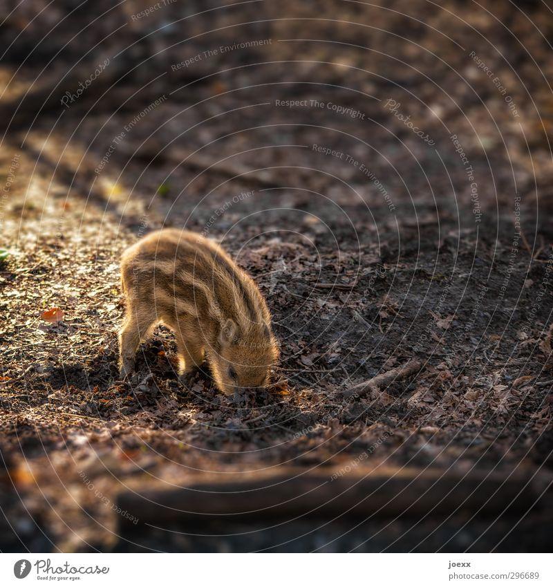 Suchfunktion Erde Wald Tier Wildschwein 1 klein braun Wildschweinjunges Frischling Farbfoto Gedeckte Farben Außenaufnahme Muster Menschenleer Tag Licht Schatten