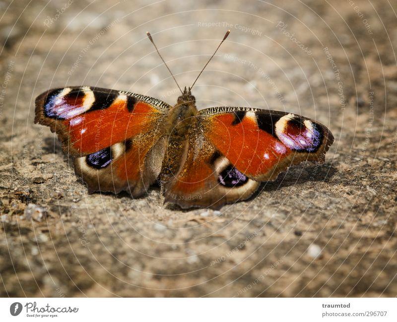 Tagpfauenauge. Tier Wildtier Schmetterling 1 frei nah Frühlingsgefühle mehrfarbig Außenaufnahme Makroaufnahme Starke Tiefenschärfe Tierporträt