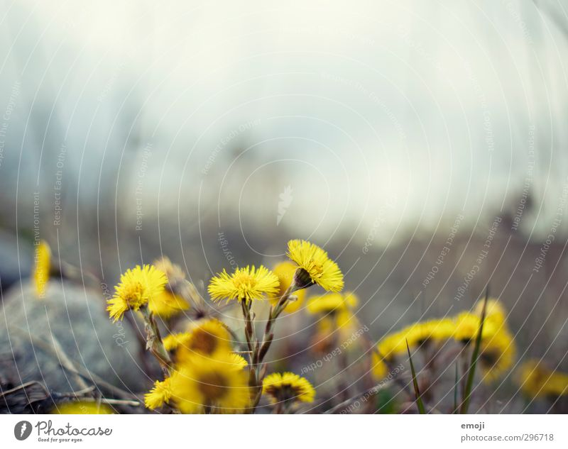 cyan Natur Pflanze Blume Umwelt gelb Frühling natürlich Saublumen