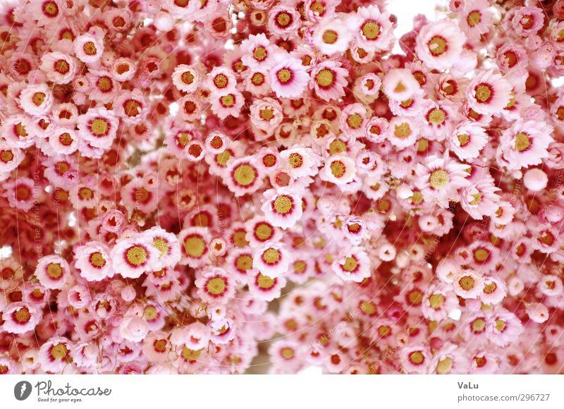 Blümchen Natur schön weiß Pflanze Blume gelb Blüte Garten rosa Schönes Wetter frisch Fröhlichkeit Blühend