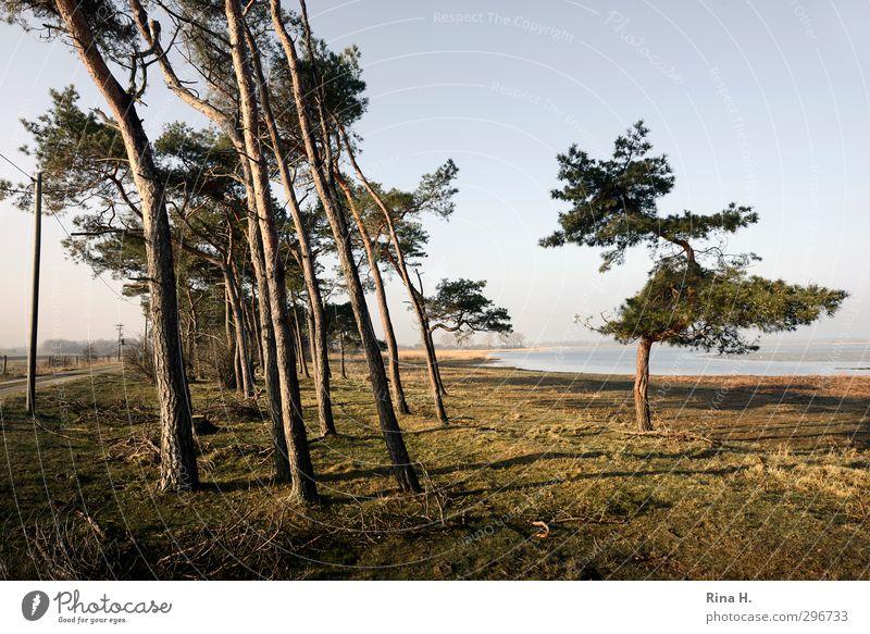 WindSchief II Natur Baum Landschaft Wiese Gras Frühling Wege & Pfade natürlich Schönes Wetter Lebensfreude Neigung Rügen Kiefer