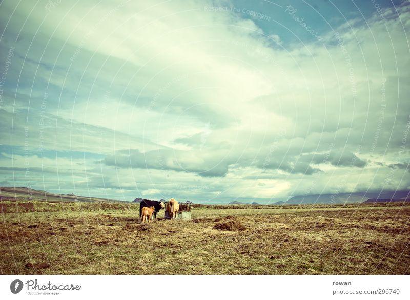 weites land Himmel Wolken Wind Wiese Feld Tier Nutztier Kuh 3 Tiergruppe Tierjunges Tierfamilie Zusammensein ruhig Einsamkeit Ferne Landwirtschaft