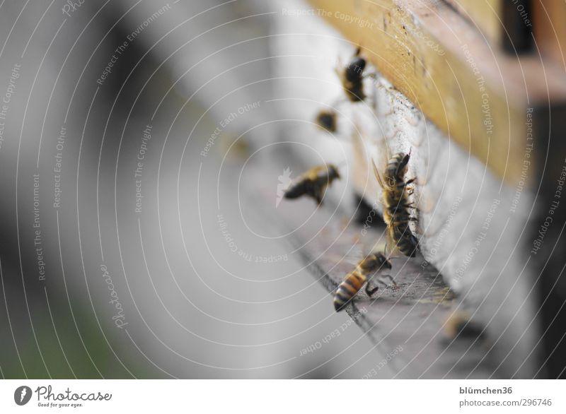 Treffpunkt Bienenstock schön Tier Bewegung klein Essen Arbeit & Erwerbstätigkeit fliegen Geschwindigkeit Ausflug Insekt Völker Teamwork tragen anstrengen