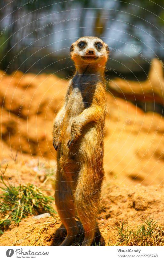 What are they doing? Natur Tier gelb Tierjunges Gefühle lustig braun orange Erde Wildtier gefährlich Coolness niedlich Neugier Fell Tiergesicht