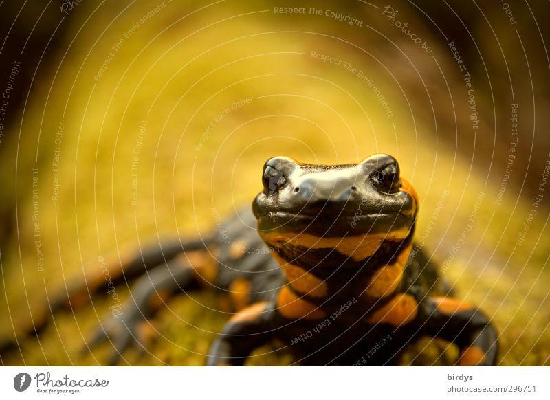 666 Lurchi the beast Moos Tiergesicht Feuersalamander Salamander Schwanzlurche 1 Blick ästhetisch außergewöhnlich Coolness elegant exotisch schön Willensstärke