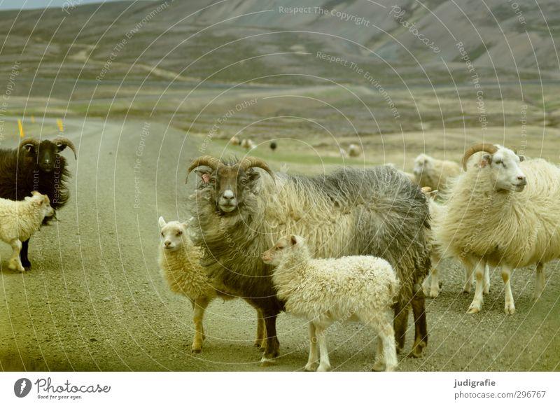 thulegraphia Umwelt Natur Landschaft Berge u. Gebirge Island Verkehrswege Straße Wege & Pfade Tier Nutztier Schaf Tiergruppe Tierpaar Tierjunges Tierfamilie