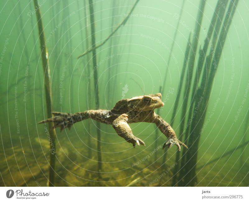 freischwimmer Natur Wasser Tier Umwelt Frühling Schwimmen & Baden Wildtier Coolness tauchen Schweben Teich Frosch Unterwasserpflanze