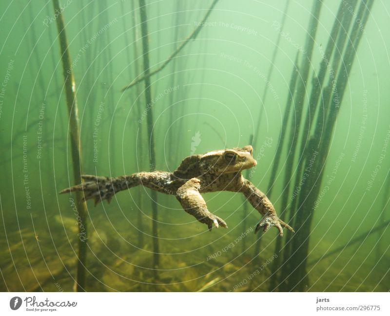 freischwimmer Umwelt Wasser Frühling Teich Tier Wildtier Frosch 1 Schwimmen & Baden tauchen Coolness Natur Schweben Unterwasserpflanze Farbfoto Nahaufnahme