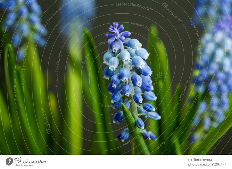 Traubenhyazinthen Natur Pflanze Frühling Blume Blüte Garten Park Blühend Duft glänzend leuchten Wachstum einfach Fröhlichkeit frisch schön blau grün