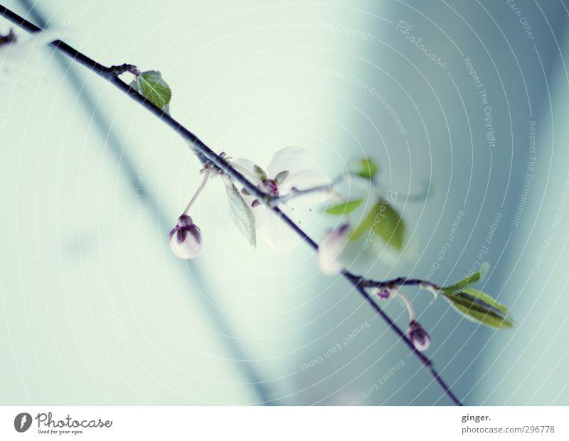 Frühling will ins Licht Natur Pflanze Schönes Wetter Blume Sträucher Blatt Blüte klein zart fein grün Makroaufnahme sprießen Ast Wand Schatten Blütenknospen