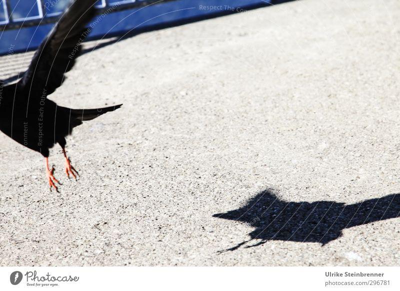 Kopflos - Drift Sonne Tier schwarz Wand Mauer Kopf Vogel gehen fliegen Fassade wild Geschwindigkeit Feder Bodenbelag Flügel Dach