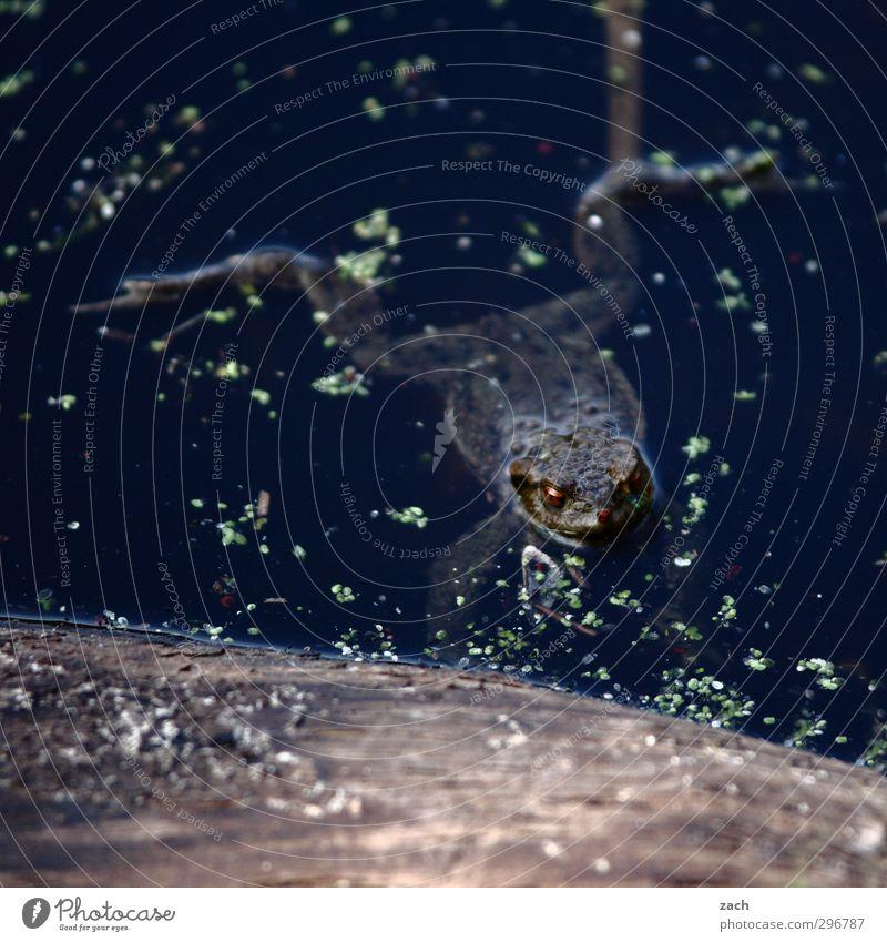 kopflastig | Luft schnappen Schwimmen & Baden Tier Wasser Teich See Frosch Bewegung nass braun Kröte Im Wasser treiben Gedeckte Farben Außenaufnahme