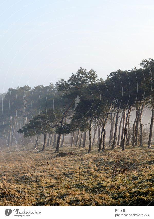 Frühnebel Natur Baum Landschaft Wald Wiese natürlich Nebel Zufriedenheit Lebensfreude Kiefer