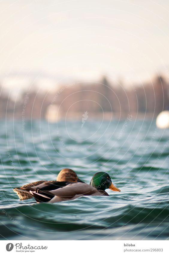 Alle meine Entlein... Natur Landschaft Tier Urelemente Wasser Sommer Schönes Wetter Wellen Seeufer Wildtier Vogel Ente 2 blau grün Farbfoto Außenaufnahme