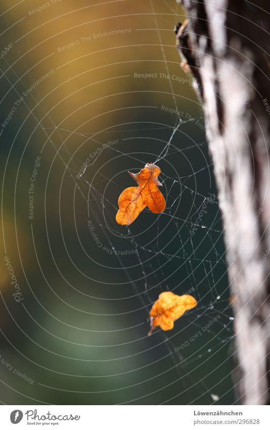 Herbstfang Natur Pflanze Schönes Wetter Baum Blatt Eichenblatt Baumrinde Netz Traumfänger fangen ästhetisch braun gelb grün orange Stimmung schön Gelassenheit