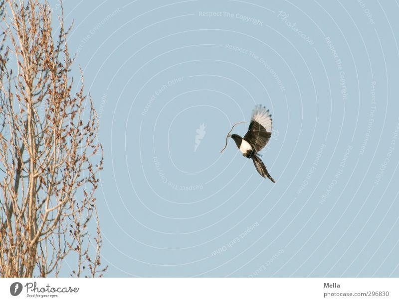 Bauphase Himmel Natur blau Pflanze Baum Tier Umwelt Frühling Luft natürlich Vogel fliegen Wildtier bauen Tatkraft Pappeln