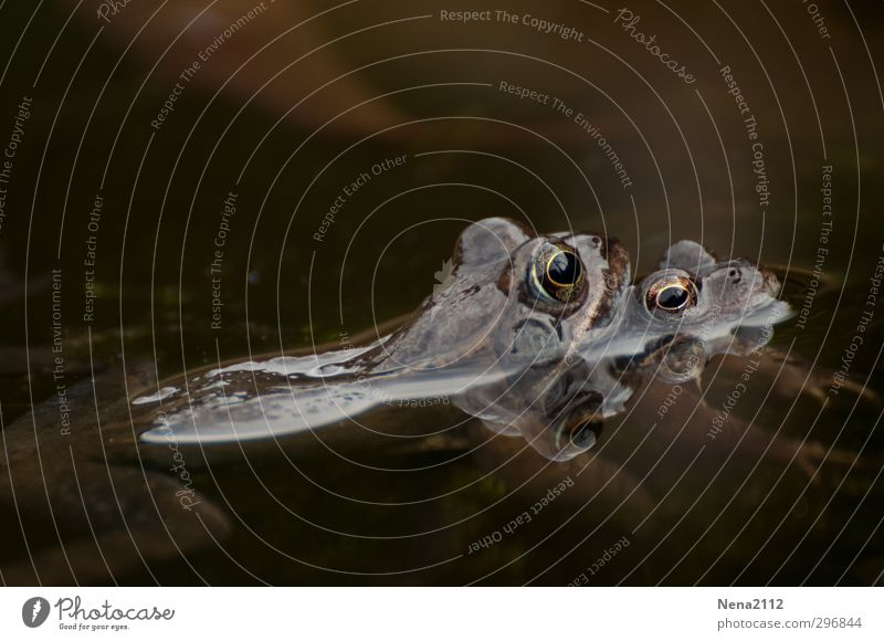 Zusammenhalten Natur Tier Wasser Frühling Schönes Wetter Teich Frosch Tiergesicht 2 Tierpaar festhalten Liebe kalt braun Fortpflanzung Kröte Krötenwanderung