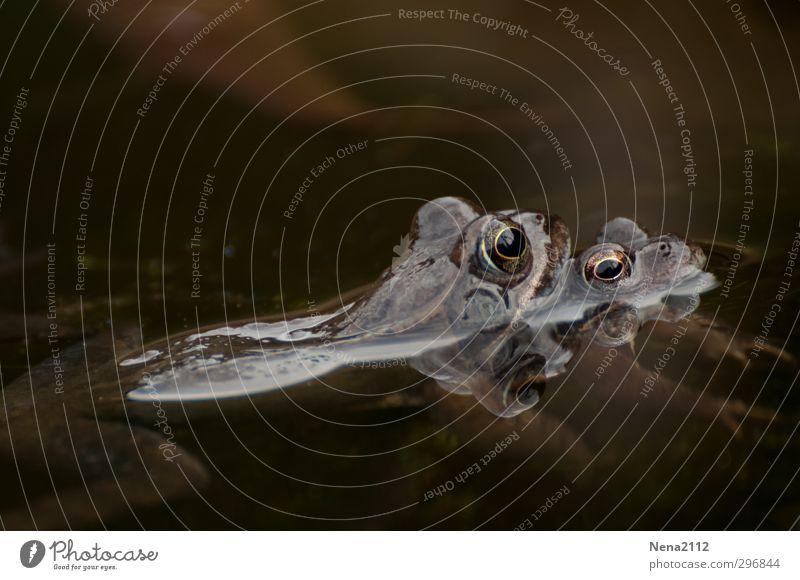 Zusammenhalten Natur Wasser Tier Liebe kalt Frühling Schwimmen & Baden braun Zusammensein Tierpaar Schönes Wetter festhalten Tiergesicht Teich Frosch Glätte