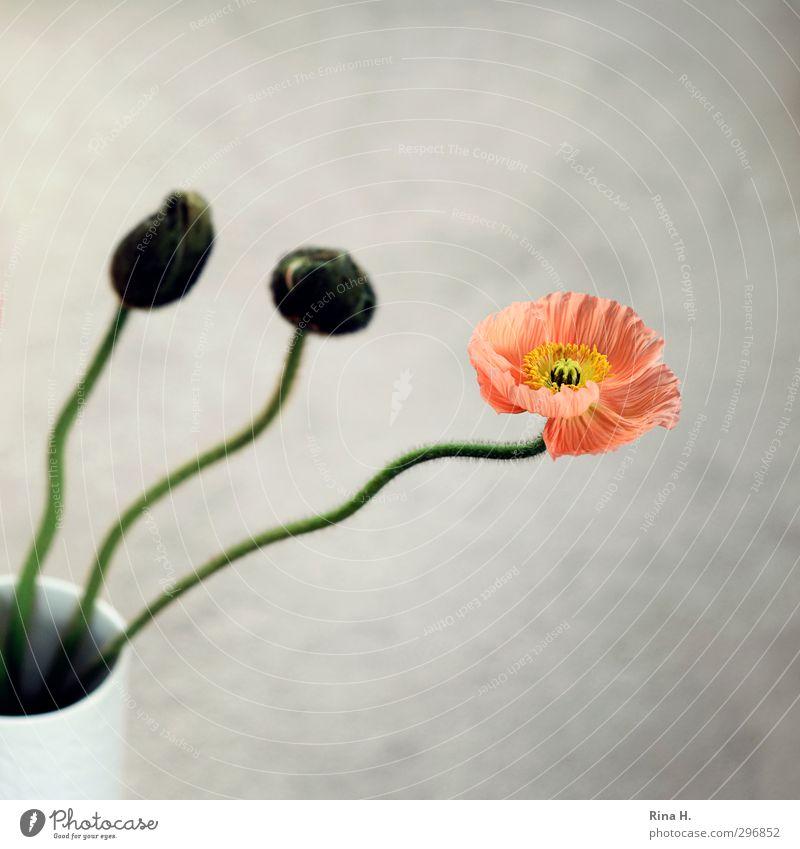 Mohn Blume Blüte ästhetisch Blütenknospen Stengel Vase Stillleben 3 Quadrat Farbfoto Innenaufnahme Menschenleer Textfreiraum oben Textfreiraum unten